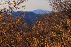 両神山と蠟梅