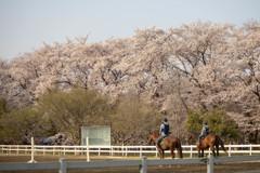 無線山の桜と乗馬を楽しむ