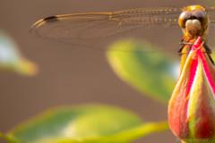 麦藁蜻蛉 と薔薇