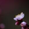 梅花 咲く