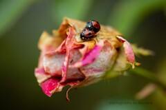 薔薇とてんとう虫