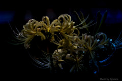 曼珠沙華 白花