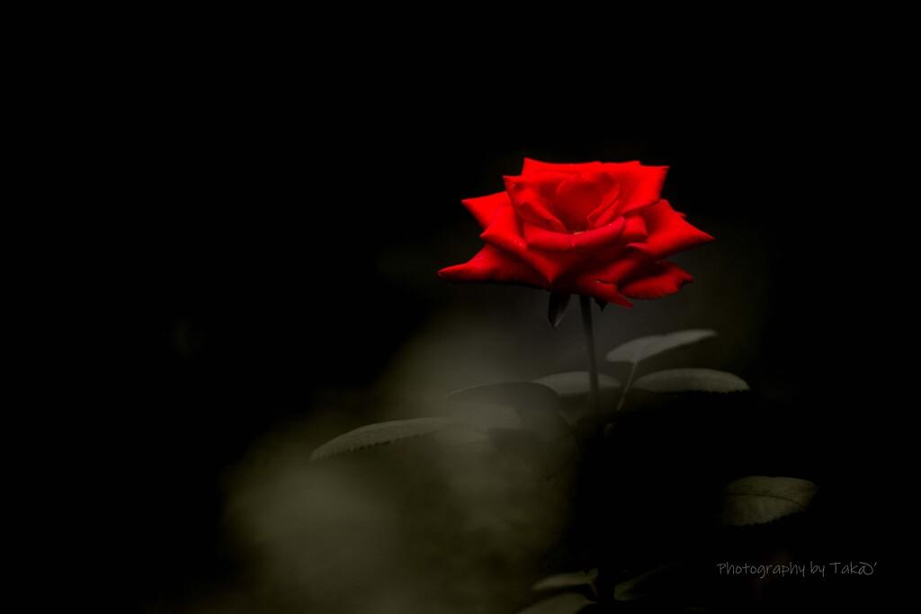 初秋の薔薇