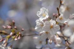桜 (4題)