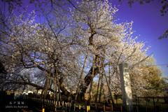 朝日に輝く石戸蒲桜