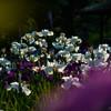 花しょうぶ祭り (1 - 1)-6