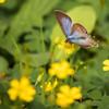 カタバミの花としじみ蝶