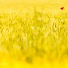 早朝の麦畑にて