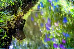 紫陽花が波紋に揺れる