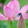 古代蓮 と蜻蛉