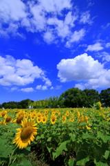 真夏の向日葵 1
