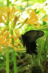 彼岸花とクロアゲハ 2