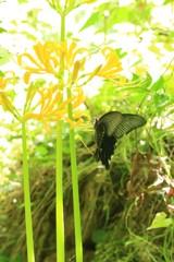 彼岸花とクロアゲハ 1