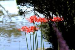 水辺の彼岸花