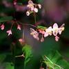 秋海棠 1
