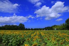 真夏の向日葵 2