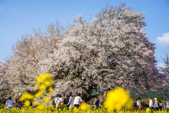 一心行の大桜1