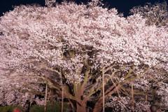 一心行の大桜 ライトアップ2