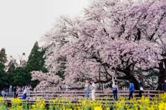 一心行の大桜2