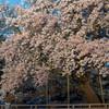 一心行の大桜 ライトアップ1