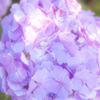 庭の紫陽花1