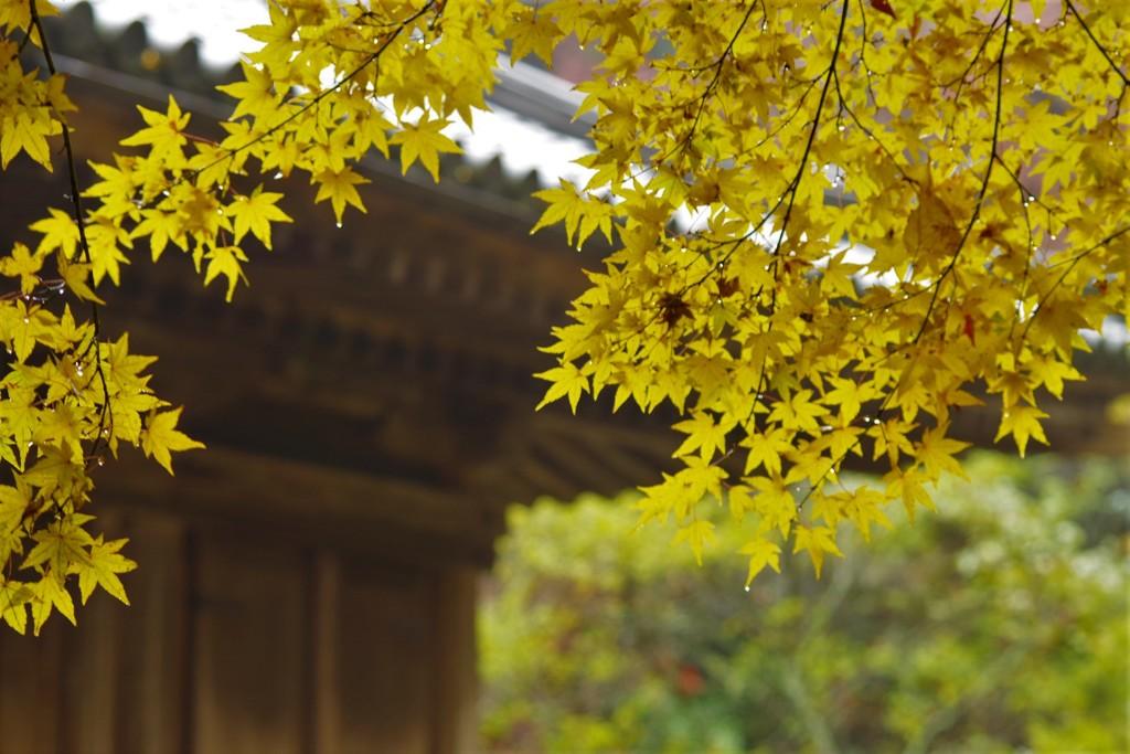 小金色の紅葉