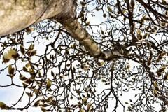 ハクモクレンの木
