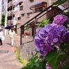 暑い日の紫陽花