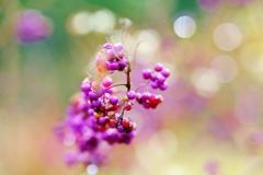 Japanese  beauty berry ♪