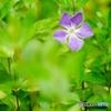 ツルニチニチソウ(中池見)DSC01898