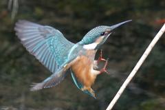カワセミ幼鳥5
