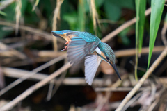 カワセミ幼鳥6