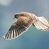 チョウゲンボウの飛翔2