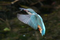 カワセミ幼鳥3