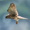 チョウゲンボウの飛翔