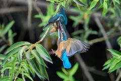 カワセミ幼鳥の喧嘩