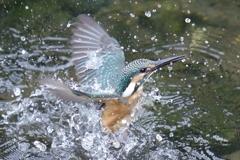 カワセミ幼鳥4