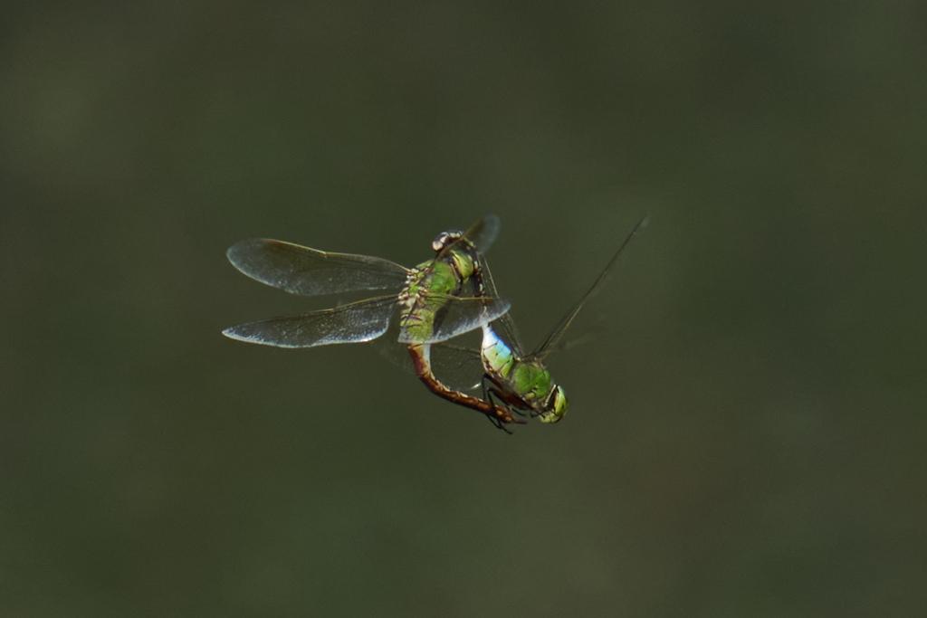 ギンヤンマの空中交尾