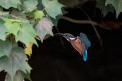 カワセミ幼鳥2