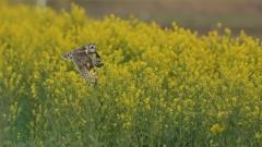 菜の花畑を飛翔