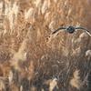 葦原を飛翔