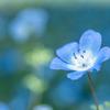 春の青い花