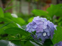 向島百花園-紫陽花 2