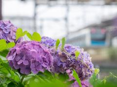 紫陽花+京浜東北線