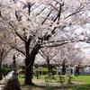 浦安昼景 若潮公園の桜