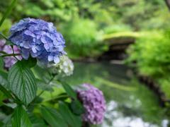 向島百花園-紫陽花