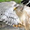 カンムリワシ幼鳥