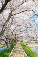 小さな桜並木