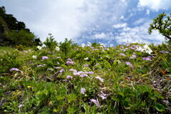 梅雨晴れに咲くアサマコザクラ