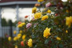 秋バラに囲まれて